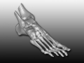 CT scan data foot model